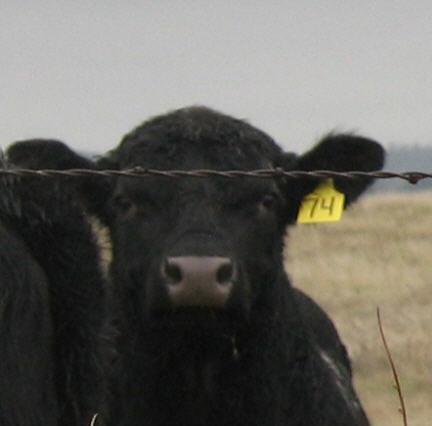 World Champion Cow